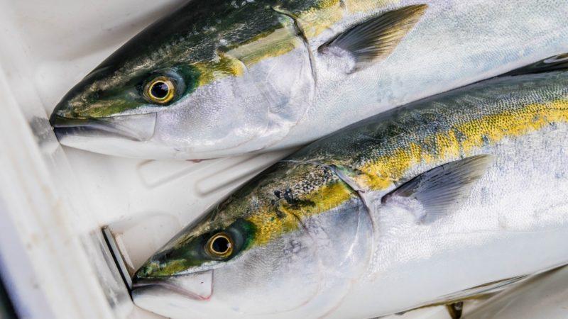 出世魚のぶりは寒ぶりのぶりしゃぶ握りで食べるのが美味しい!